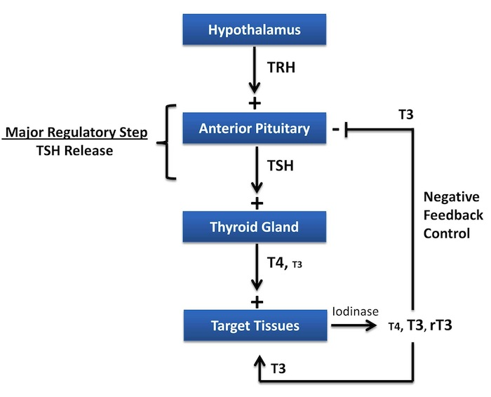 Thyroid-Hormone-Regulation