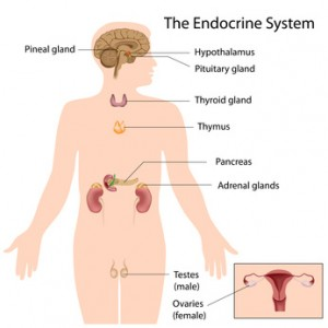 The endocrine system, eps10